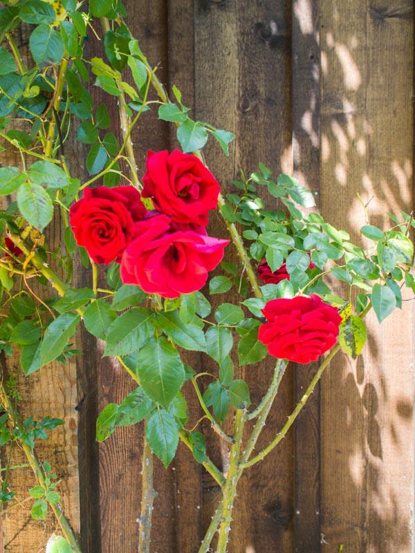 rose-wood-background